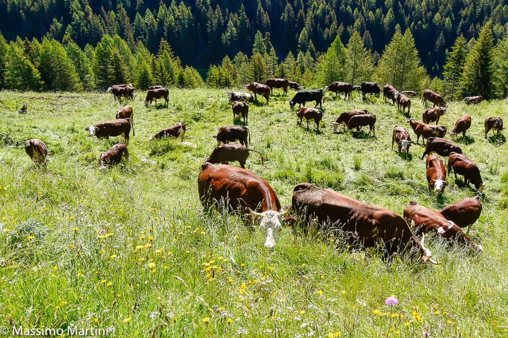 Cows circle