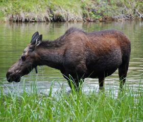 Mrs. Elk