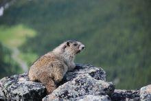 Marmota monax